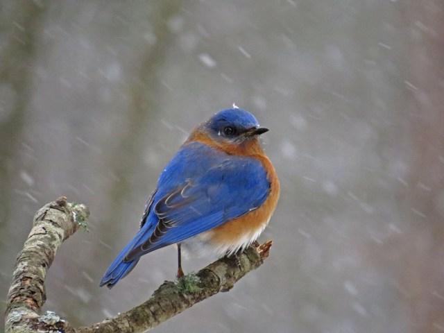 bluebird128