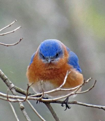 bluebird131
