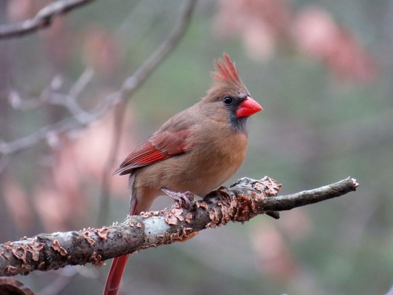 cardinal116b