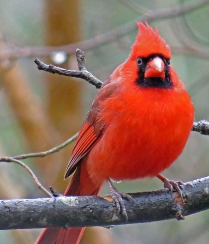 cardinal131