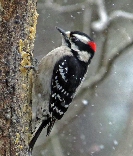 downywoodpecker128