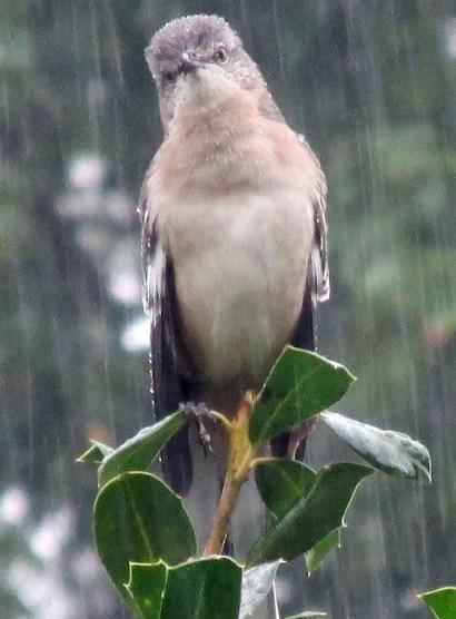 mockingbird131