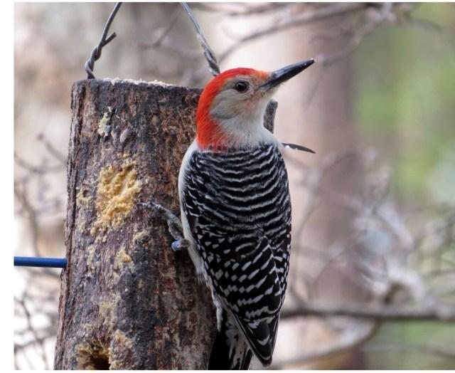 redbelliedwoodpecker113