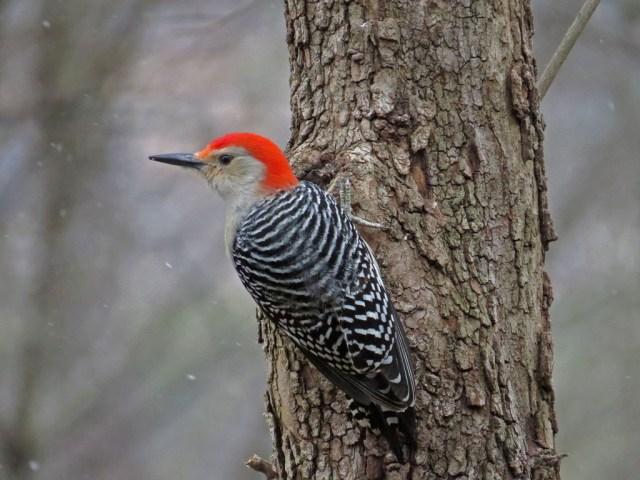 redbelliedwoodpecker128