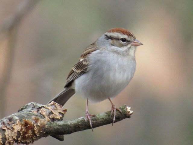 sparrow116