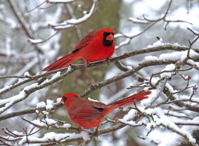male cardinals