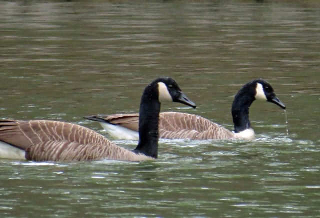 geese220a