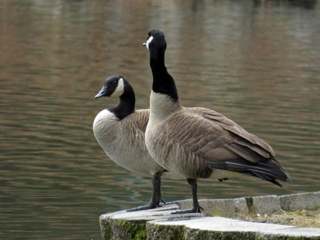 geese220b