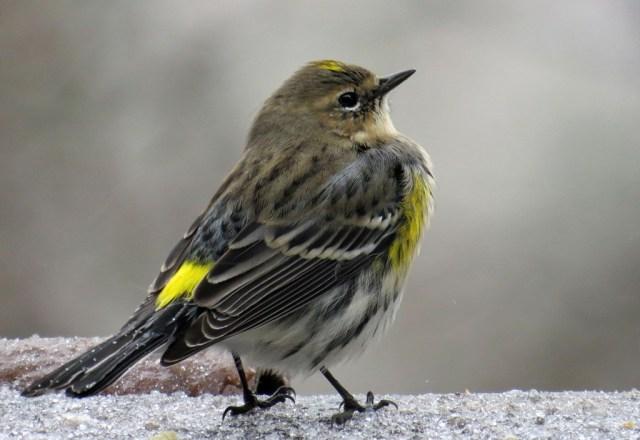 yellowrumpedwarbler212
