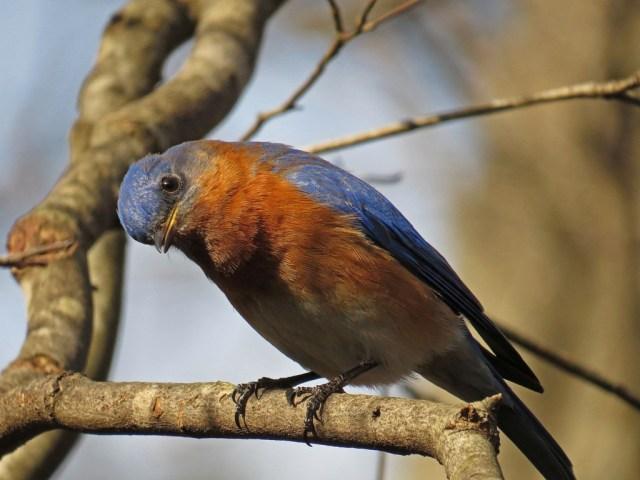 bluebird320