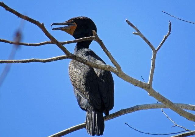 cormorant331a