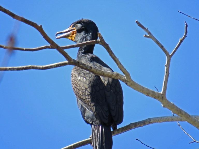 cormorant331b