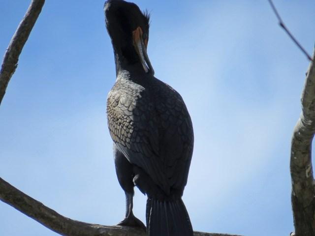 cormorant331c
