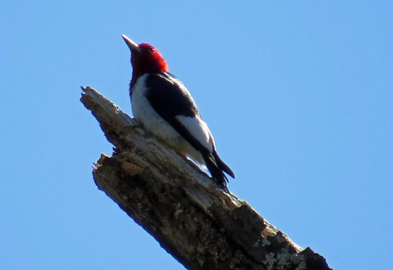 red-headedwoodpecker331