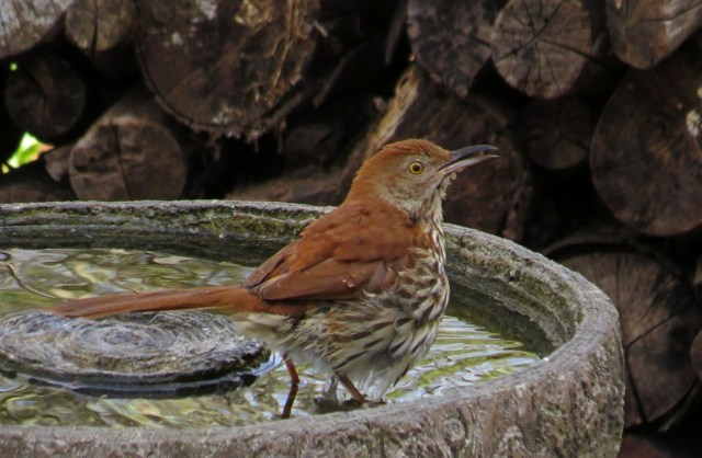 brownthrasher407a