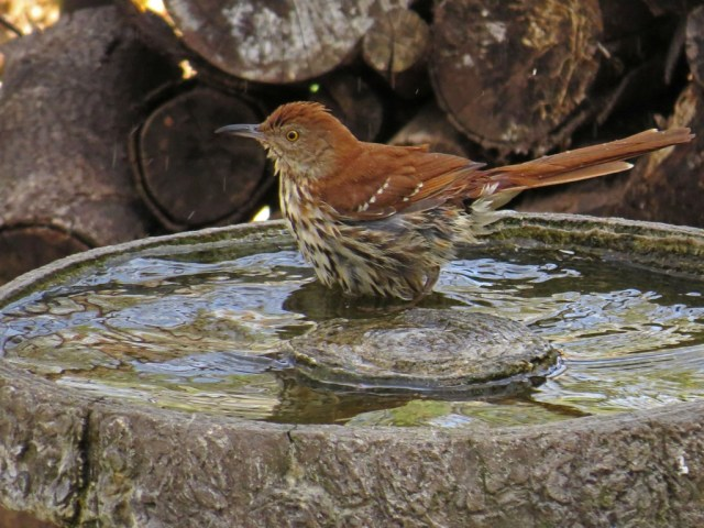 brownthrasher407c