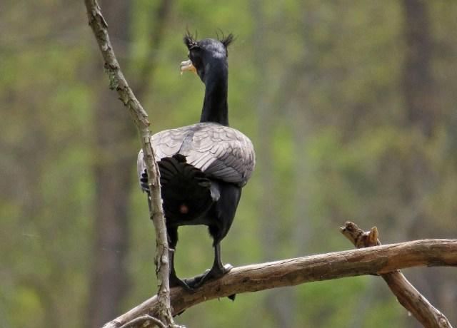 cormorant411d