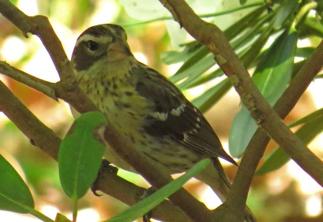 femalegrosbeak428d
