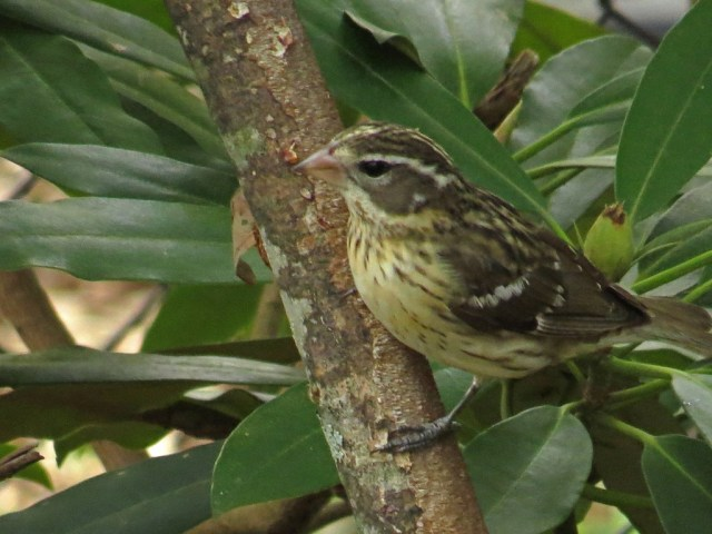 femalegrosbeak428f