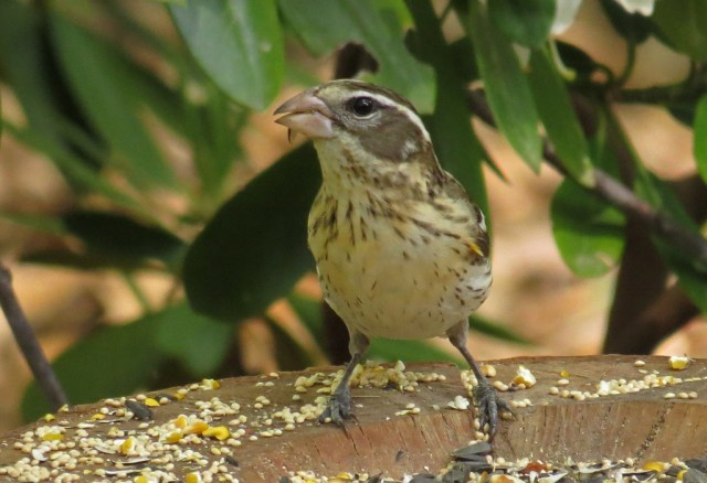 femalegrosbeak428g
