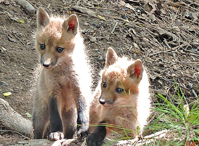 foxes424a