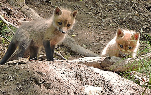 foxes424b