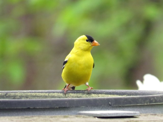 goldfinch414