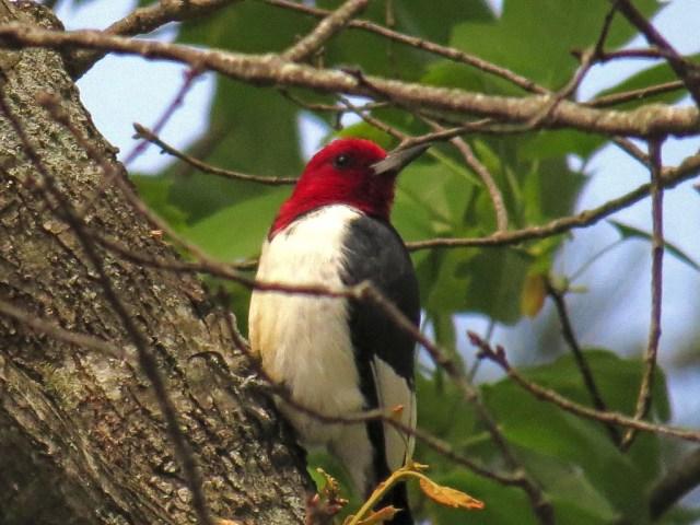 redheadedwoodpecker417a