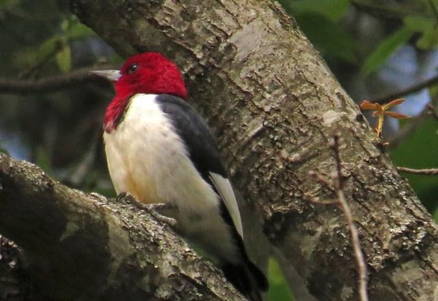 redheadedwoodpecker417b
