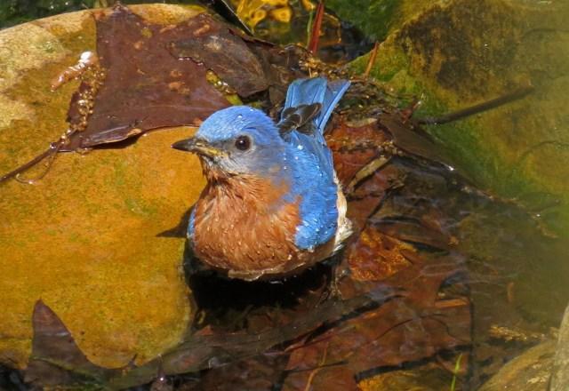bluebird501b