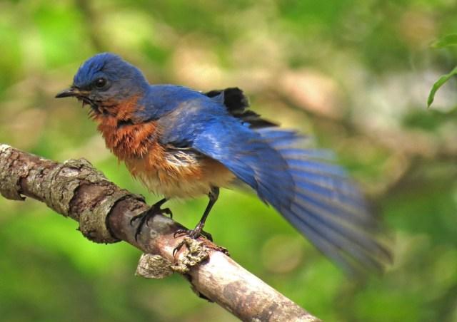 bluebird501c
