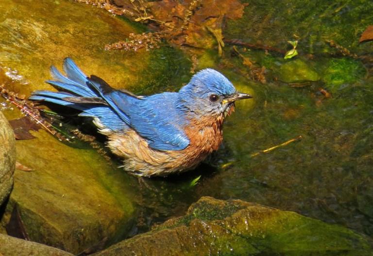 bluebird501d
