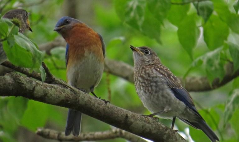 bluebirds509a