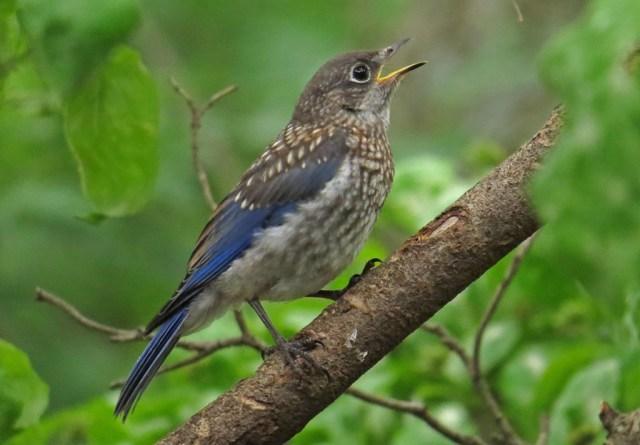 bluebirds509c