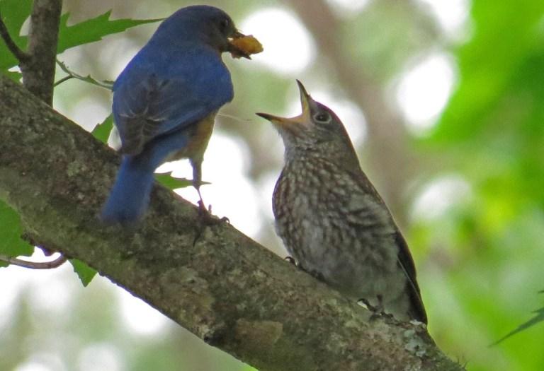 bluebirds509d