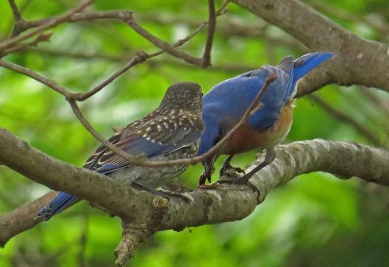 bluebirds509e