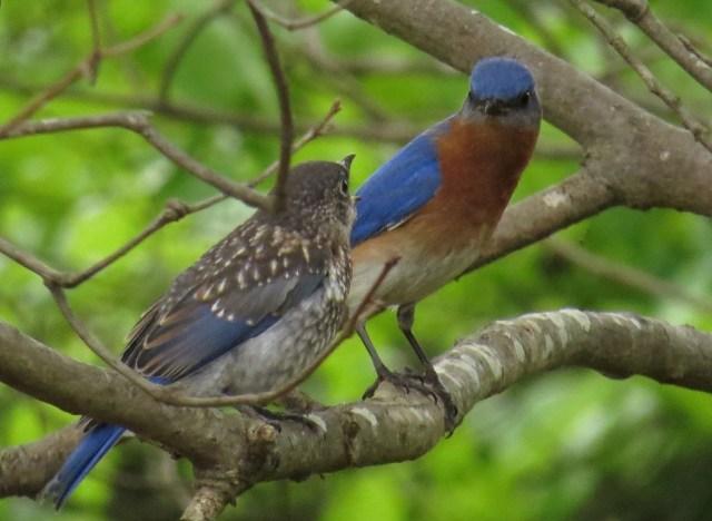 bluebirds509f