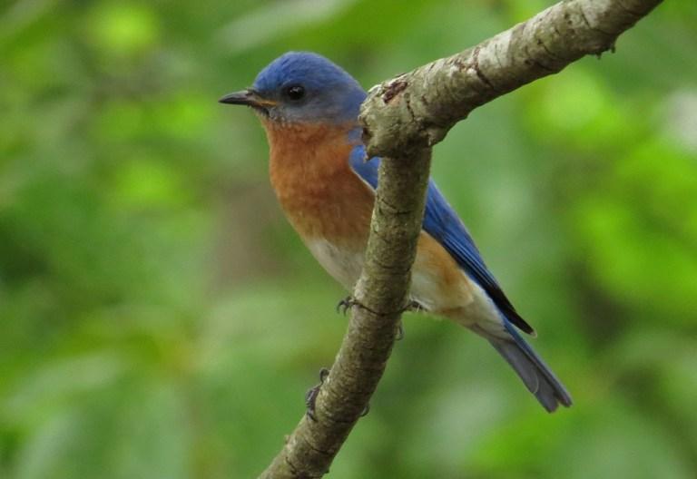 bluebirds509g