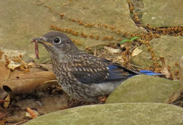 bluebirds509h