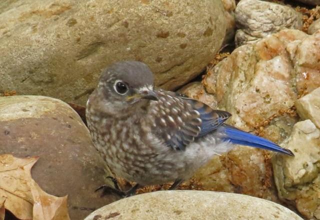 bluebirds509j