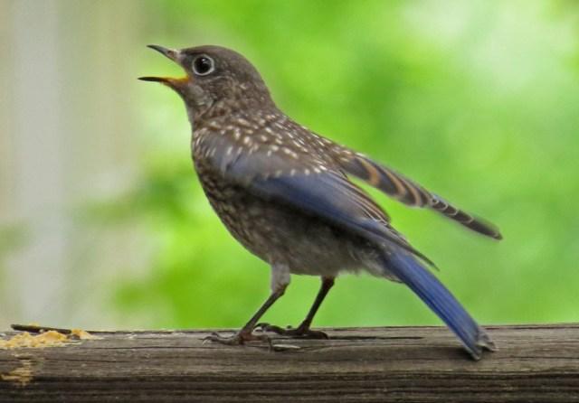 bluebirds509k