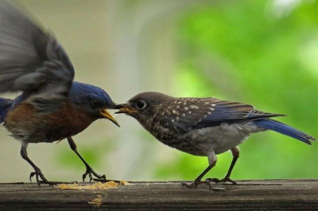 bluebirds509m