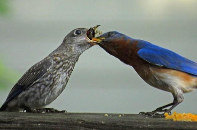 bluebirds513a