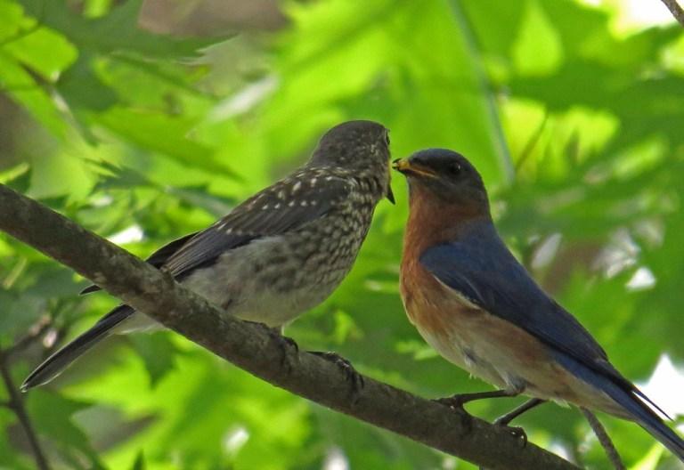 bluebirds513e