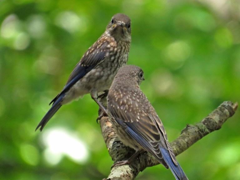 bluebirds513g