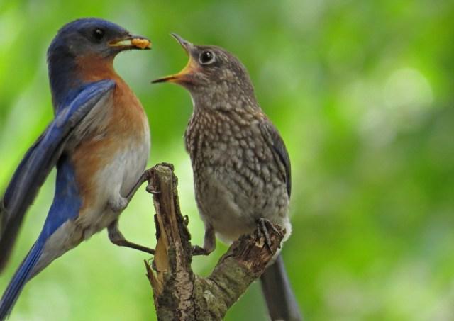 bluebirds513h