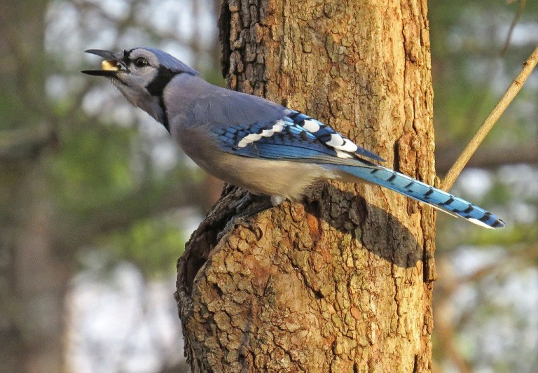Blue Jay discovering peanuts in the Dogwood