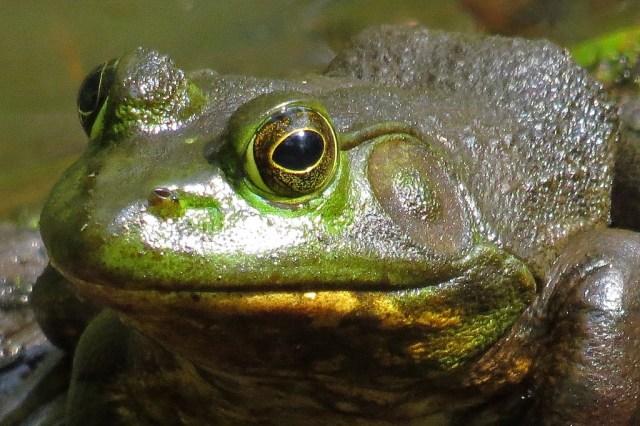 frog528c
