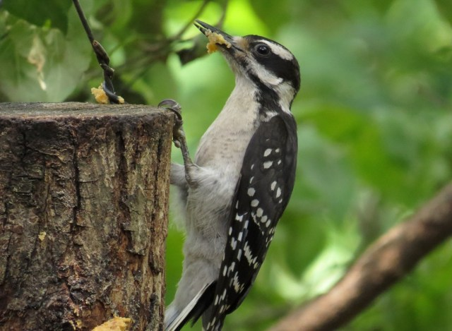 Adult female Hairy Woodpecker, getting food for her youngster.