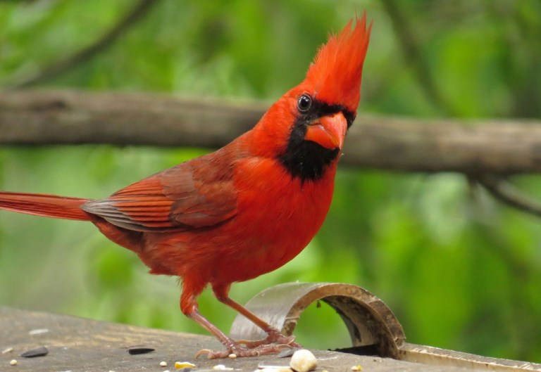"Male cardinal with crown aflame.  Kind of reminds me of the villain from ""The Incredibles""."